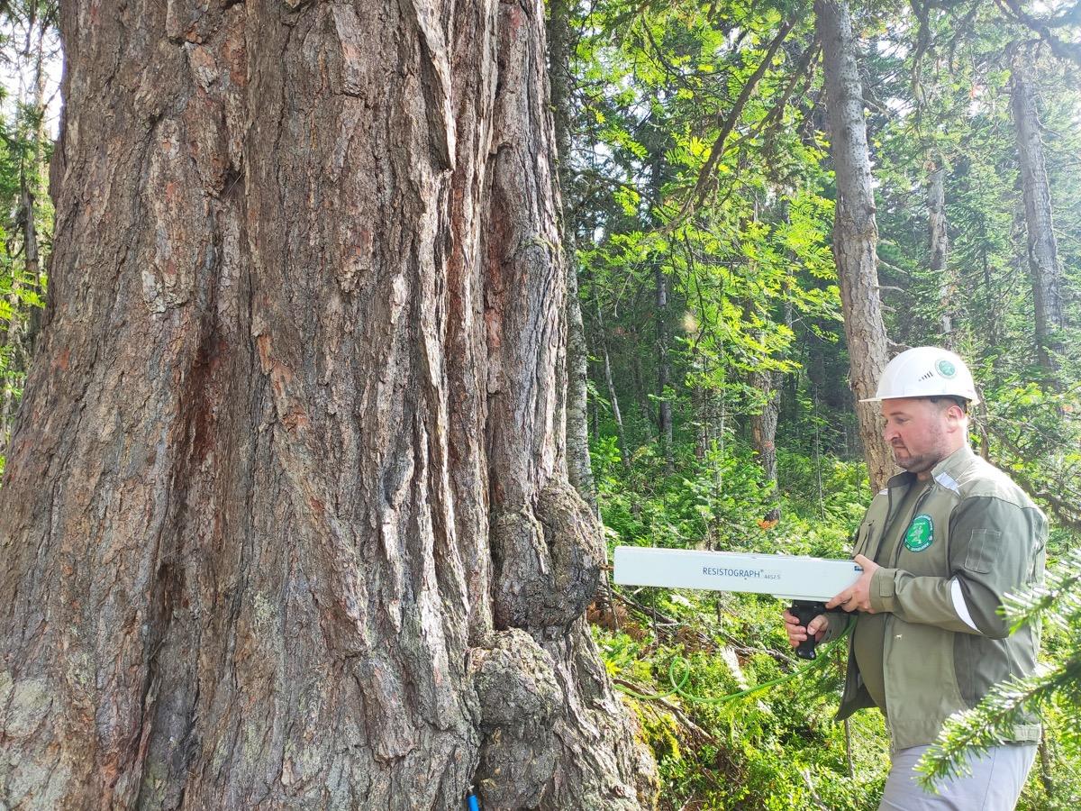 Эксперты Центра древесных экспертиз «ЗДОРОВЫЙ ЛЕС» обследовали уникальные деревья в Республике Хакасия