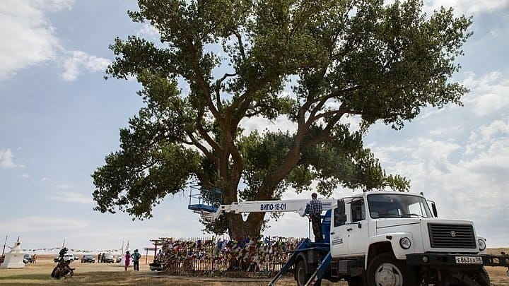 Оздоровительные мероприятия для Российского дерева года – Одинокого тополя из Калмыкии!
