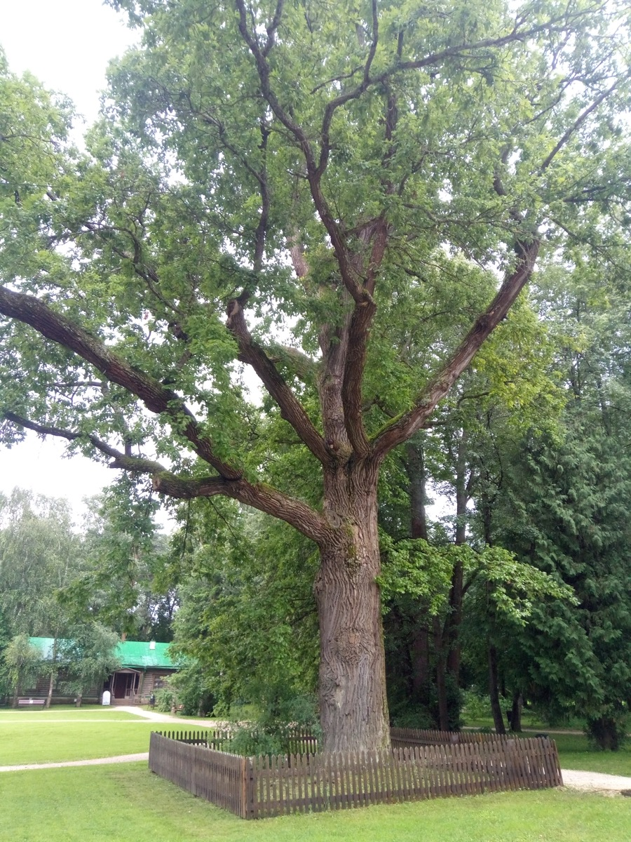 Экспертами Центра древесных экспертиз, в рамках Всероссийской программы «Деревья – памятники живой природы», осуществлено повторное обследование исторического Абрамцевского дуба